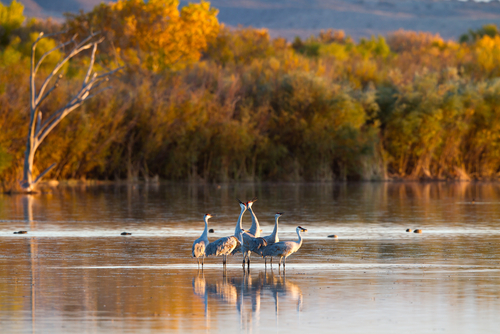 Cranes_at_Bosque_de_Apache_National_Wildlife_Refuge.jpg